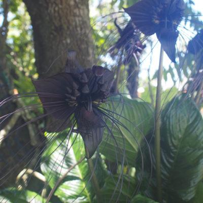 コウモリ花 バインズ・リンバーロスト・ナーサリーの植物園