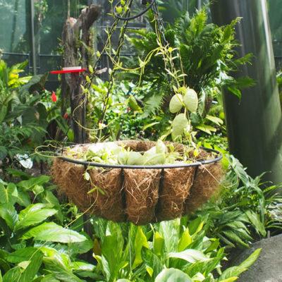 carnivorous-plant ハエトリグサ