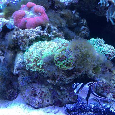 アクアパーク品川 蛍光色のサンゴ