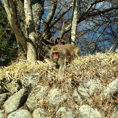 中禅寺湖付近で見かけた野生のニホンザル